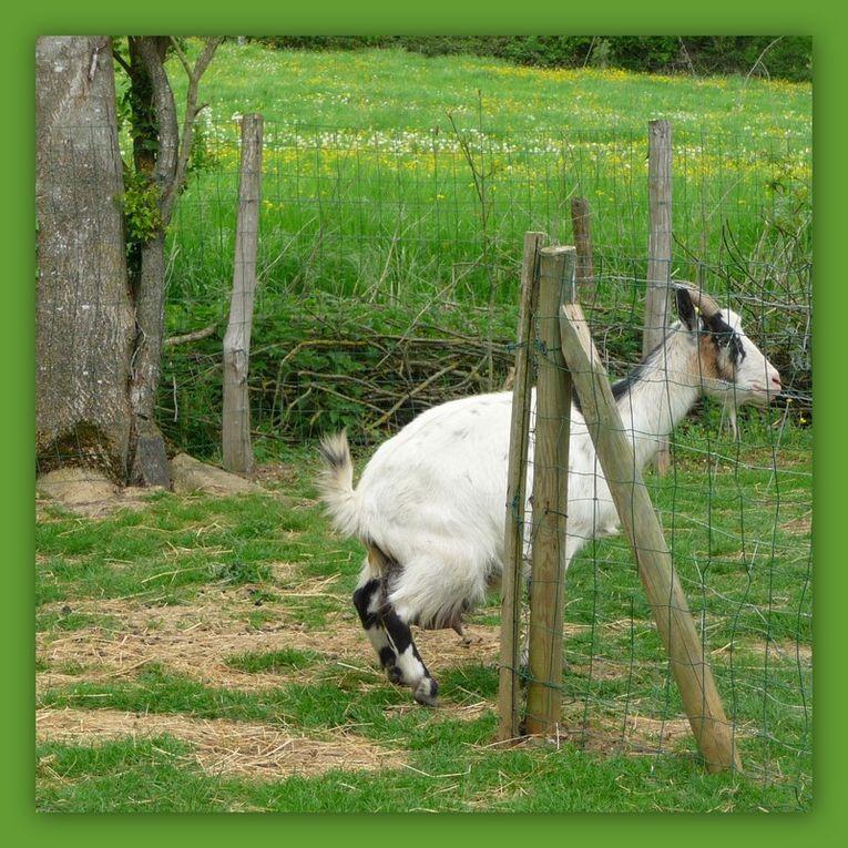 Naissance de deux petites chèvres le 1er Mai 2010