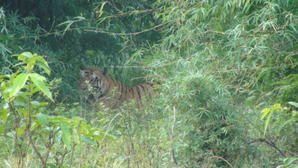 Sur les traces du tigre a Bandhavghar (Madhya Pradesh - Inde)