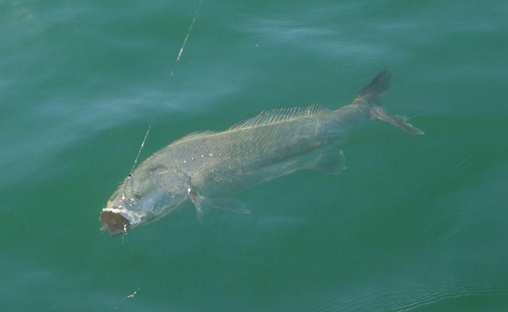 Les derniers poissons de l'année, bars et maigres de fin de saison 2011....