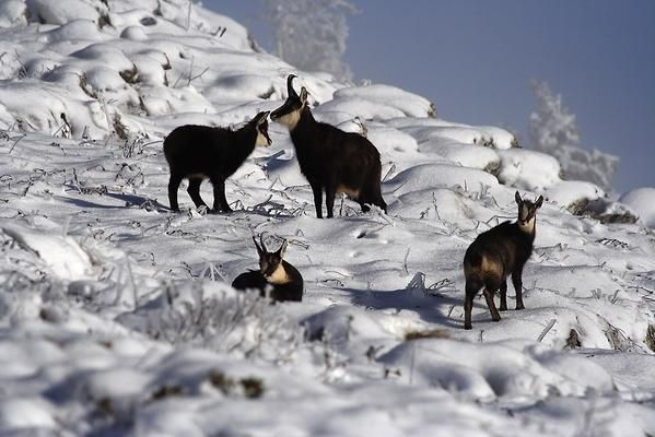 Photos de Chamois