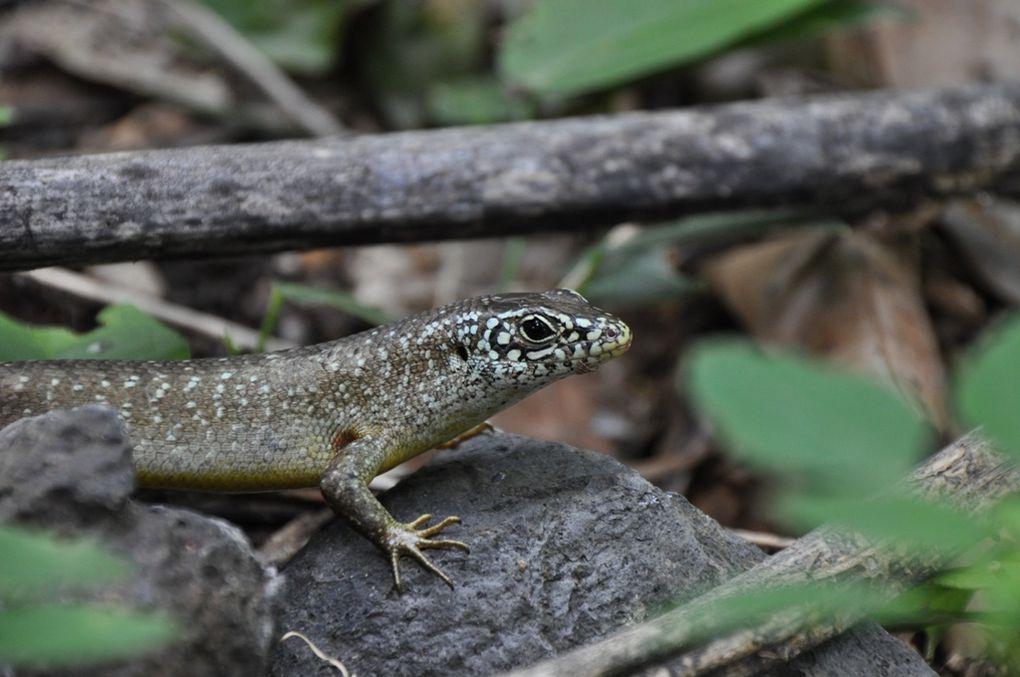 Un reptile (Reptilia en latin) est un animal vertébré, généralement tétrapode, amniote, et membre de la classe des sauropsides. Les premiers animaux à pouvoir être classés dans les reptiles sont apparus sur Terre dès le Carbonifère.