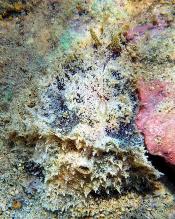 Limaces-de-mer: La plus évidente caractéristique qui permet de les distinguer extérieurement des autres limaces de mer, est la présence des deux rhinophores céphalique enroulés.