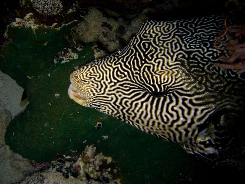 Les tétrodons sont également appelés poissons-globes, poissons-ballons  ou tétraodons