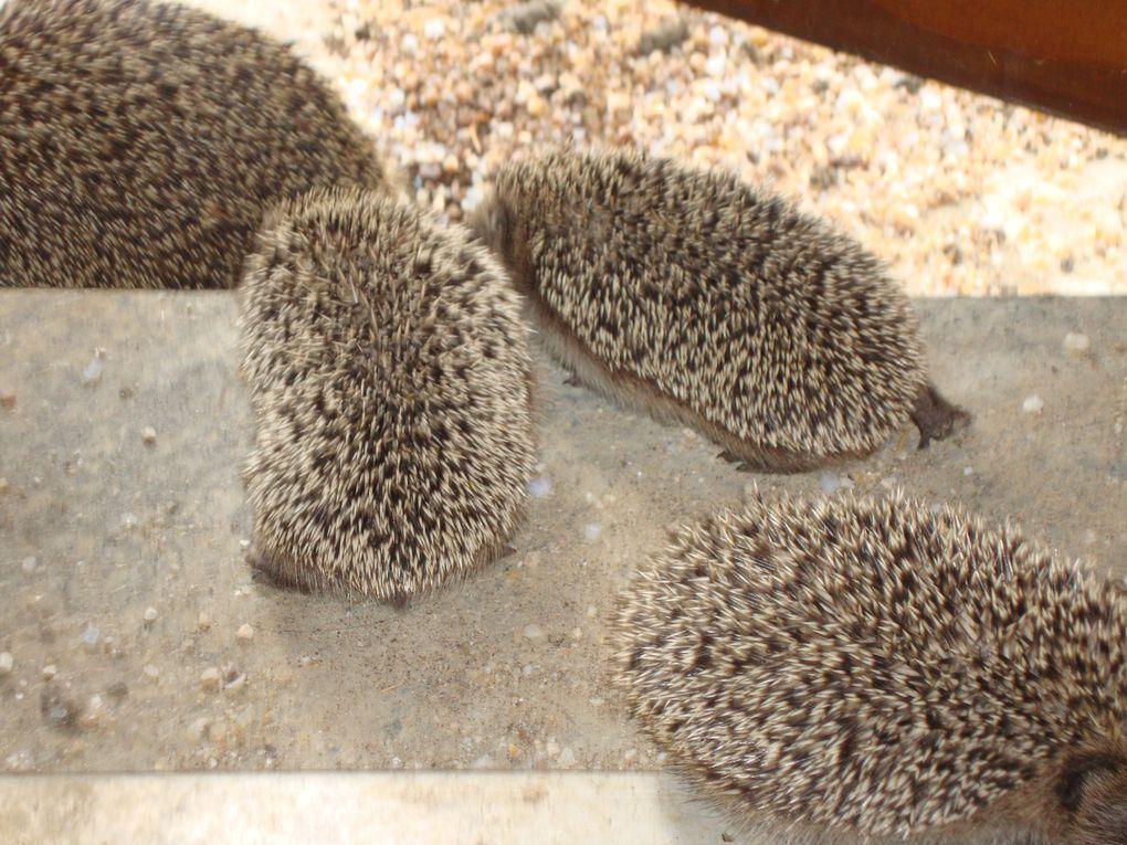 voici une famille d'herisson