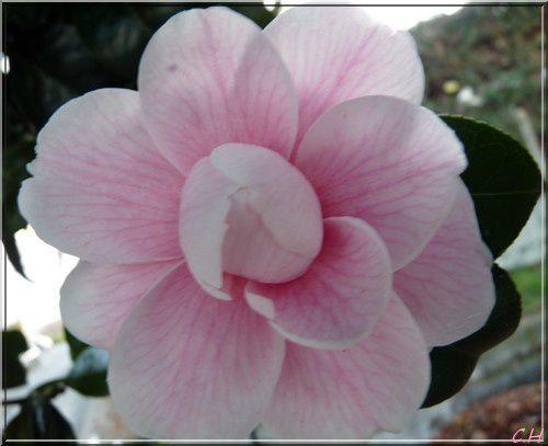 La flore en Ile & Vilaine..Mes coups de coeur pour  de jolies fleurs rencontrées au hasard d'une promenade ou au détour d'un chemin ou tout simplement une découverte dans mon jardin Breton