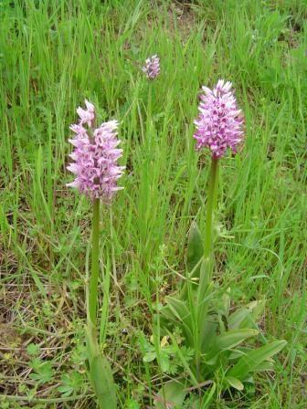 Quelques orchidées sauvages de notre région.