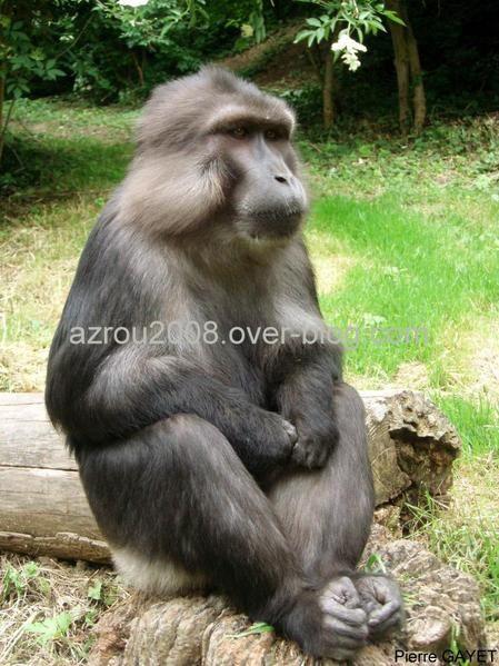 """Les macaques de Tonkean vivent sur l'île de Sulawesi, en Indonésie. Ils sont socialement beaucoup plus """"cool"""" que d'autres espèces de macaques"""