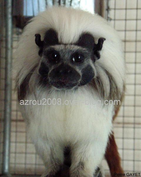 capucins moines (Cebus capucinus) et bruns (Cebus apella), gibbons, lemurs, tamarins et marmosets