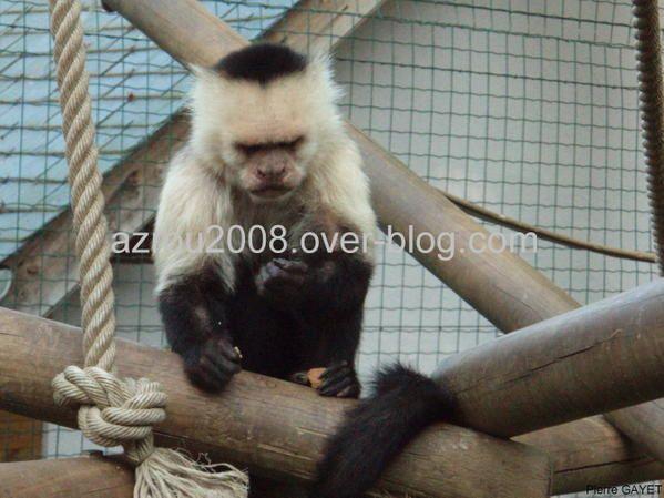 Petite famille de capucins moines (Cebus capucinus) au zoo d'Asson (64)&#x3B; également appelés capucins à face blanche ou à gorge blanche, et white-faced capuchin monkey en anglais