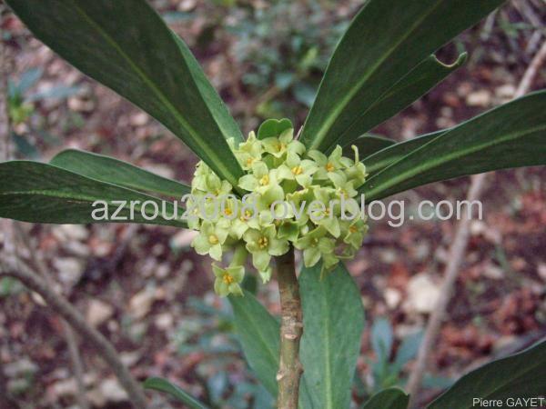 Fleurs de la forêt d'Azrou et alentours. cedraie, et foret mixte cèdres de l'Atlas et chênes verts (Parc National d'Ifrane, moyen-Atlas marocain).