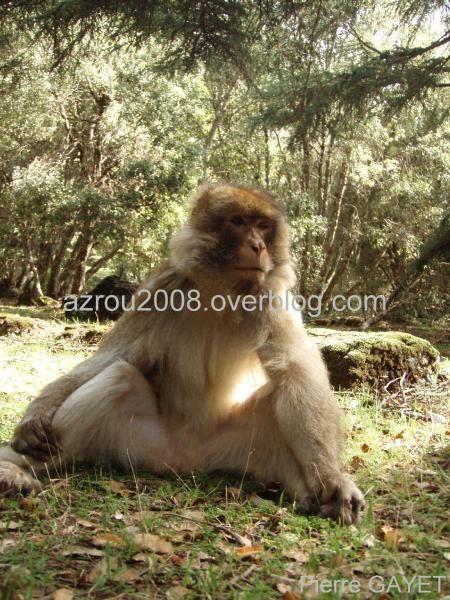 macaques de Barbarie (Macaca sylvanus) ou singe magot, dans une forêt de cèdres du moyen-Atlas marocain