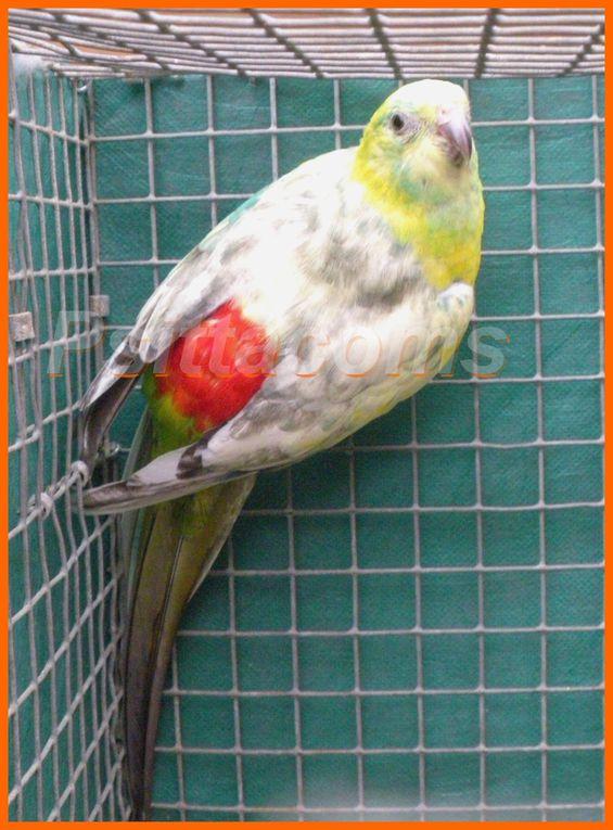 Mâle perruche à croupion rouge en mutation pie diluée