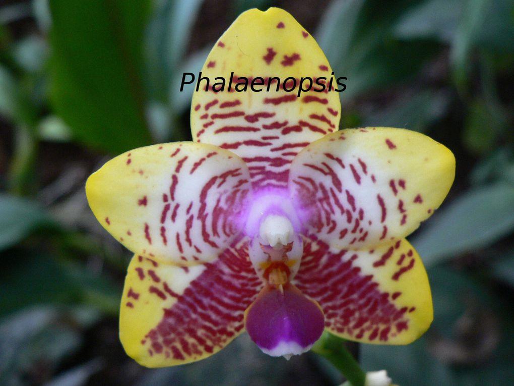 Album - Orchid-es