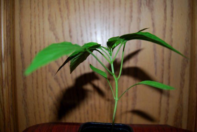 Etat des différents plants issus de mes semis 2011 en date du 03/04/2011