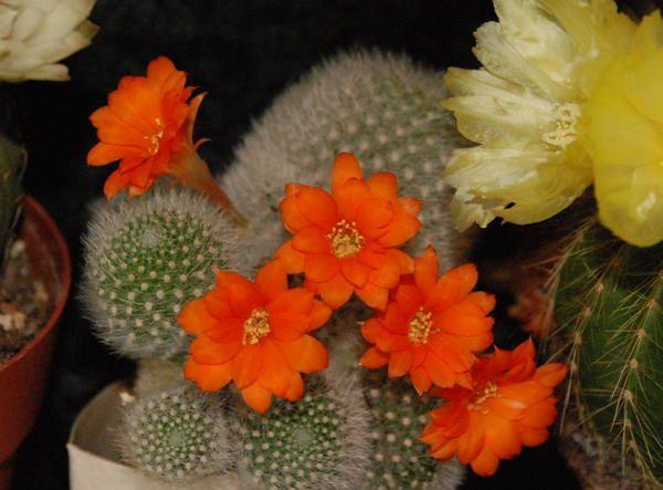 Fleurs de mes cactus.