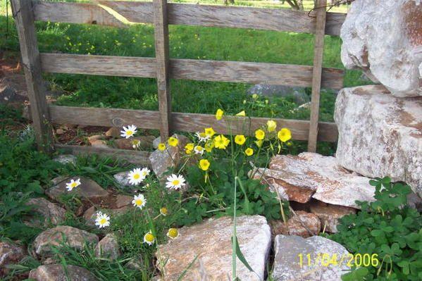 Fleurs des chemins d'Elounda, Pinès et Havgas (commune d'Aghios Nikolaos) au printemps