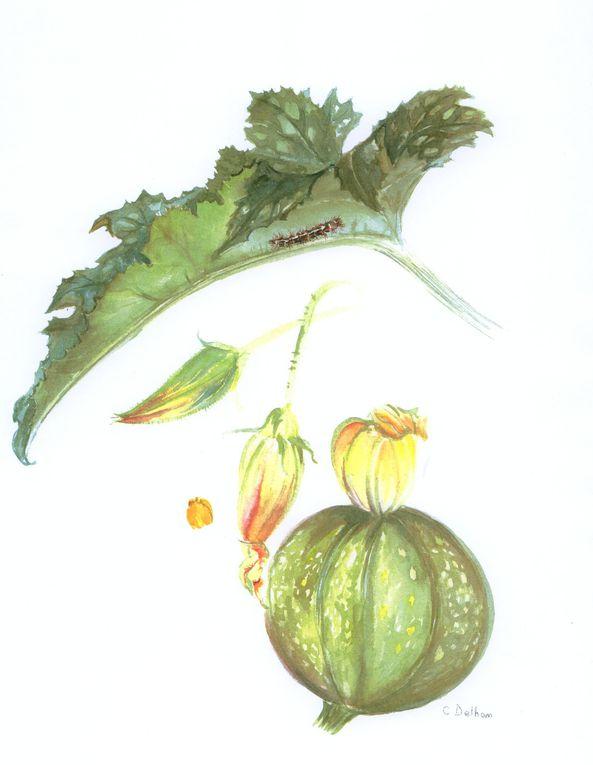 Album - Aquarelles, légumes et cucurbitacées