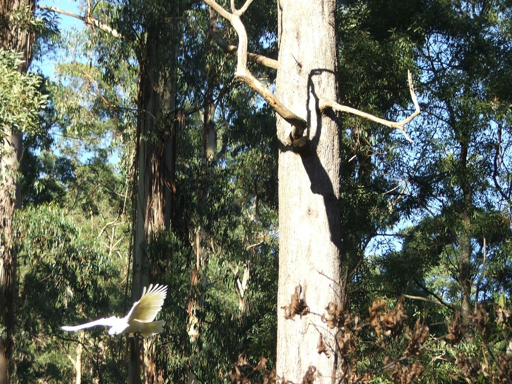 Puffing Billy et les cockatoos