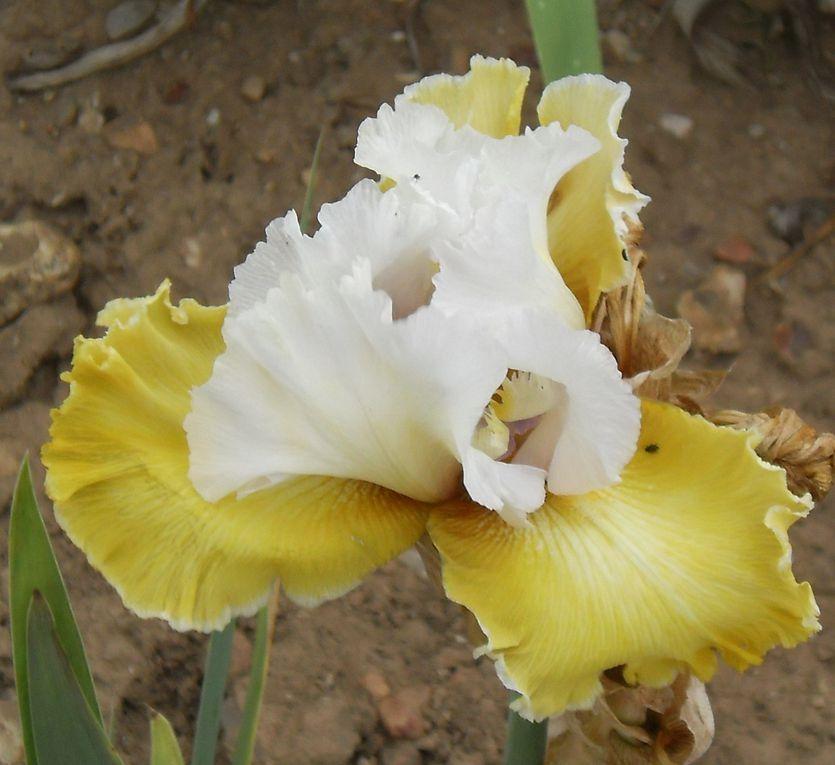 Visite le 24 mai 2011 à Giens à l'exploitation de sélection et de production d'Iris de Cayeux - Avec l'aimable autorisation de la maison CAYEUX -