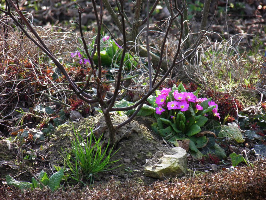 Photos du jardin et des floraison d'hiver. Garden in febuary and march, plants, flowers and trees.