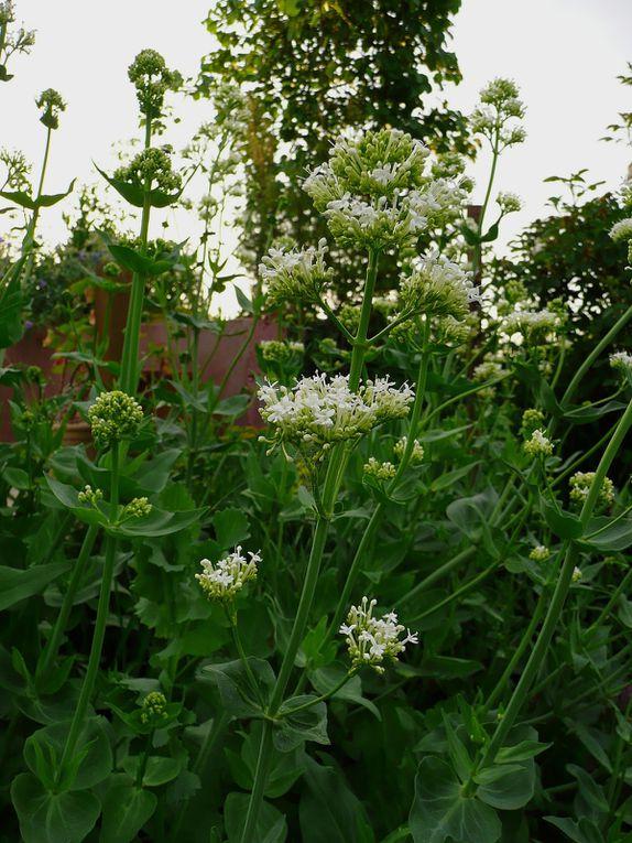 Plantes, fleurs, massifs et éléments végétaux en pleine splendeur en juin et juillet (pour régions au nord de Paris)