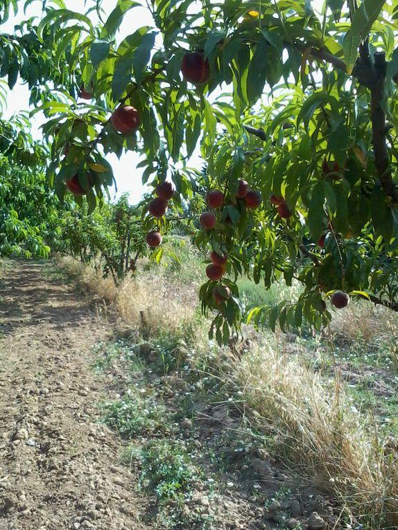 Les cultures à venir : oignons, betteraves, tomates et encore tomates, courgettes, melons et pastèques et pêches-abricot !!!