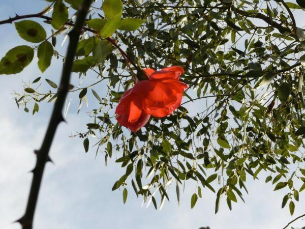 Dernières roses au sommet du rosier grimpant. Tâche rouge sur le ciel bleu, elles sont très belles, c'est une couleur presque transparente dans la lumière automnale.