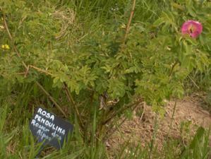 Famille des Rosacées:Eglantiers, rosiers sauvages des Pyrénées. Rosier Glauque* Rosier à feuilles de pimprenelle* Rosier des champs*Rosier fétide * Rosier toujours vert...