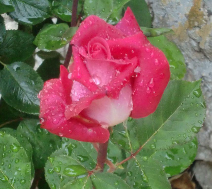 rouges, blanches, roses, jaunes.fraîches ou fanées, des roses encore et encore