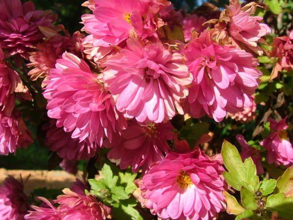 Photos prises le 8 novembre dans le jardin. Encore quelques fleurs et des champignons inconnus.