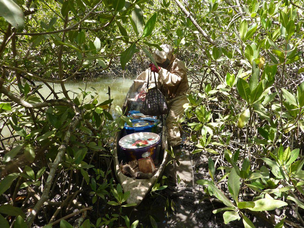 Les ruches traditionnelles Diolas : des troncs de palmiers rôniers évidés.