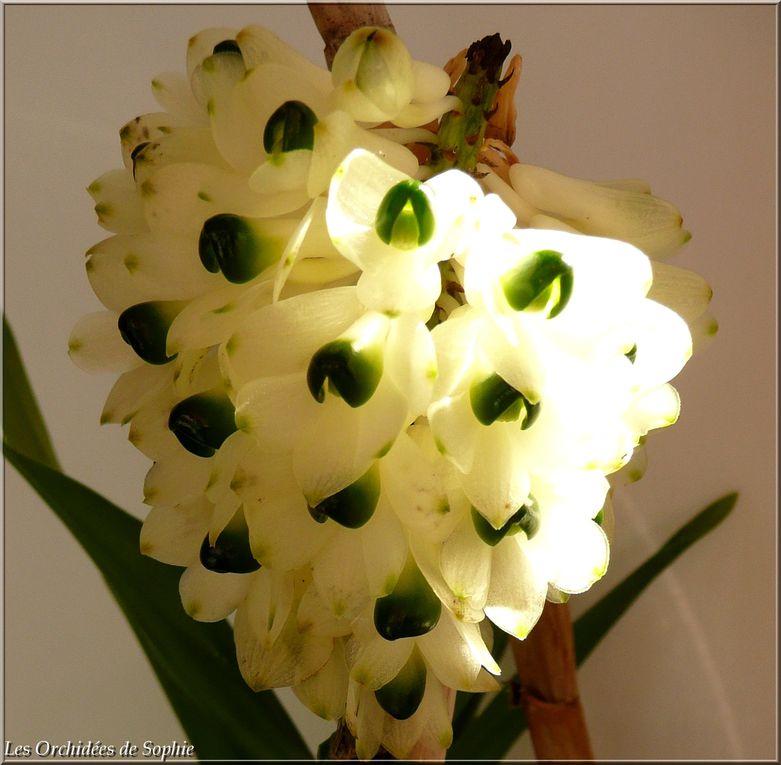 Ma collection de Dendrobium