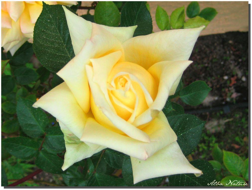 Album - Roses en vrac