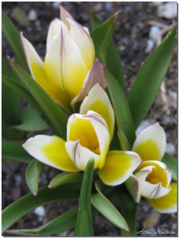 Album - Tulipes