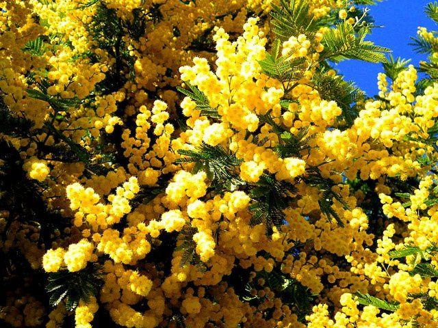 Des pompons jaune d'or...qui illuminent les jardins en hiver....