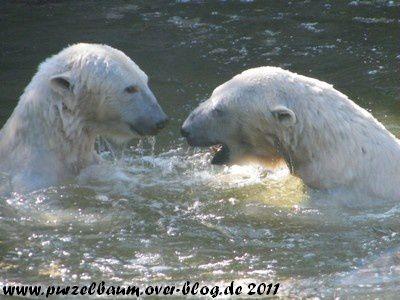 Album - Eisbaeren im Zoo Berlin