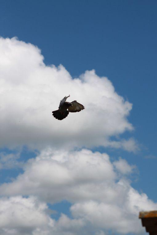 Ce que dit Franck:Voici l'arrivée de mes pigeons de falaise du 150712 Je n ai pas fait de bons résultats cette saison mais ces quelques photos sont un plaisir de colombophile quelque soit le résultat