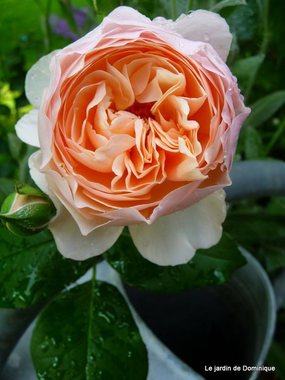 Album - Mes Roses Anglaises