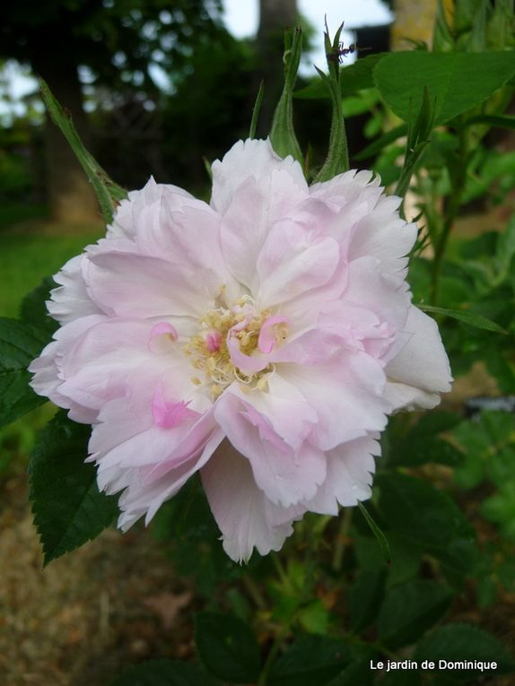 Album - Les Roses anciennes du jardin