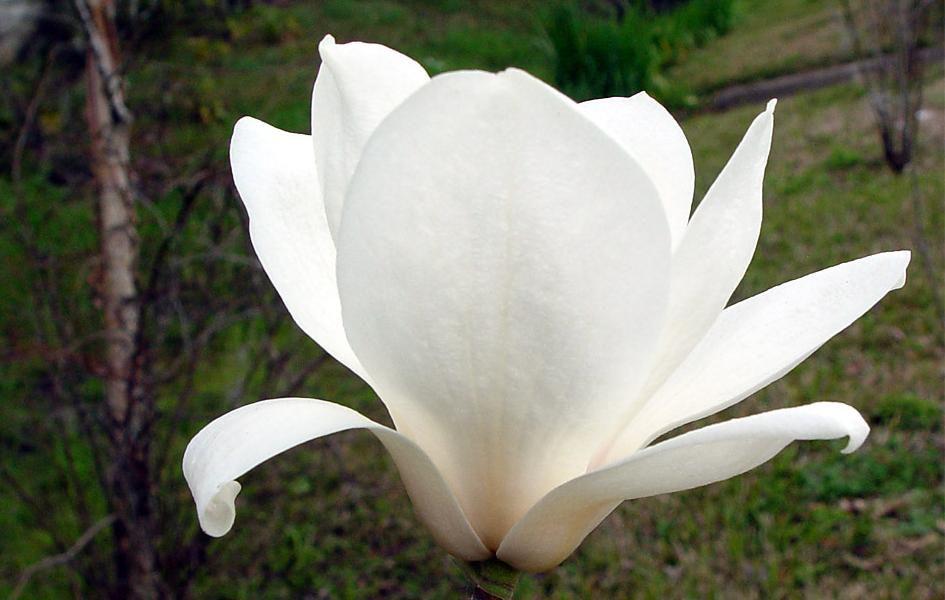 Famille : Magnoliacée (arbres et arbustes. Feuillage caduque ou persistant. ...
