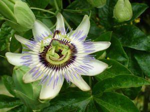 """Une fleur de """"mon jardin"""". Cette liane, originaire du Brésil, introduite en Europe au 17è siècle, résiste au froid. La forme de sa fleur fait penser à la couronne du Christ. ... Le fruit de passiflore s'appelle fruit de la passion."""