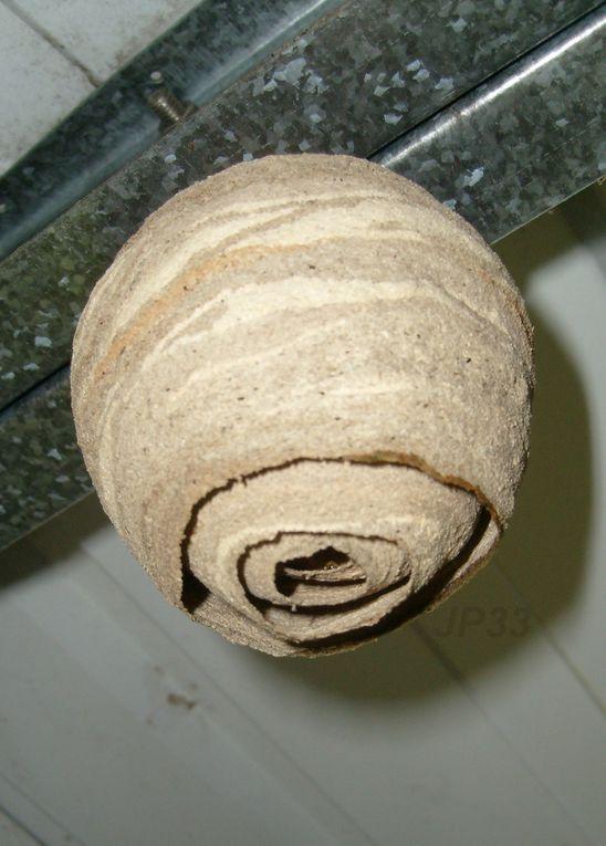 Nombreux nids toutes formes, tout endroits, du plus petit au plus gros, du plus jeune aux plus vieux, et sur tous les supports.
