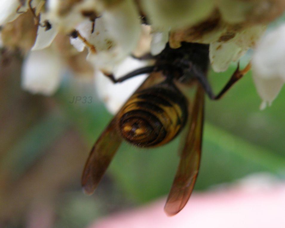 Des Mâles VVN ou Frelon Asiatique sur fleur de camélia  et de néflier - détails anatomie sous tous les angles