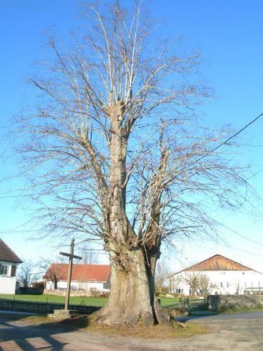 Mes arbres remarquables franc-comtois