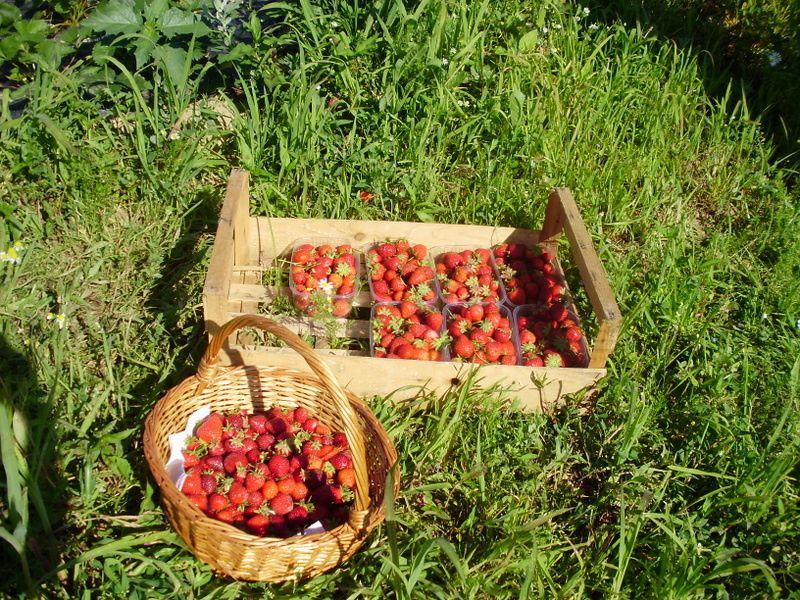 Atelier fraises et petits poissamedi 13 juin 2009 : Beaucoup de cueilleurs et peu de fraises contrairement au samedi 6 juin 2009