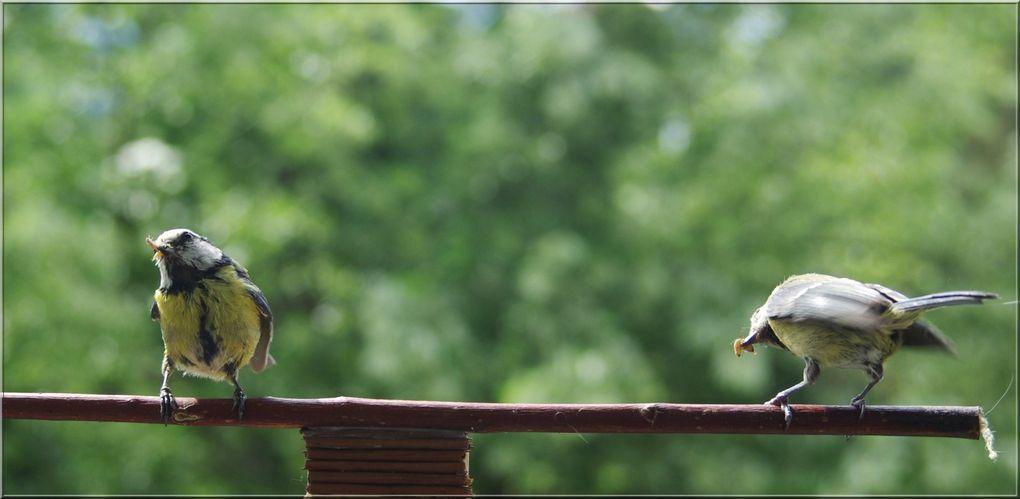 Un long mois de travail intense pour un couple de petites mésanges bleues qui doivent sans interruption alimenter leurs petits du lever du jour à la tombée de la nuit. Il va naître six poussins de ce dur labeur. Les images sont inhabituelles, ell