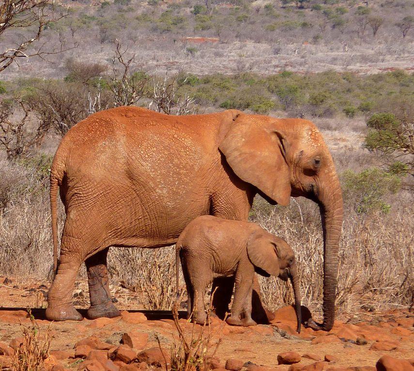Photos d'animaux à Masaï-Mara, Amboseli, Tsavo est
