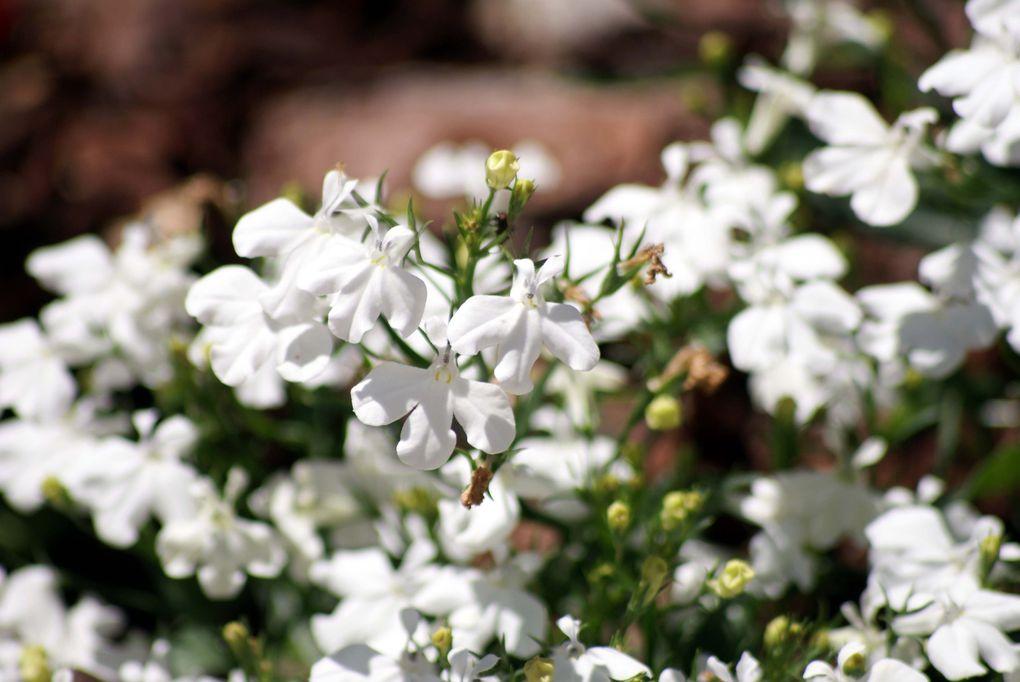 Fleurs d'été de mon jardin.