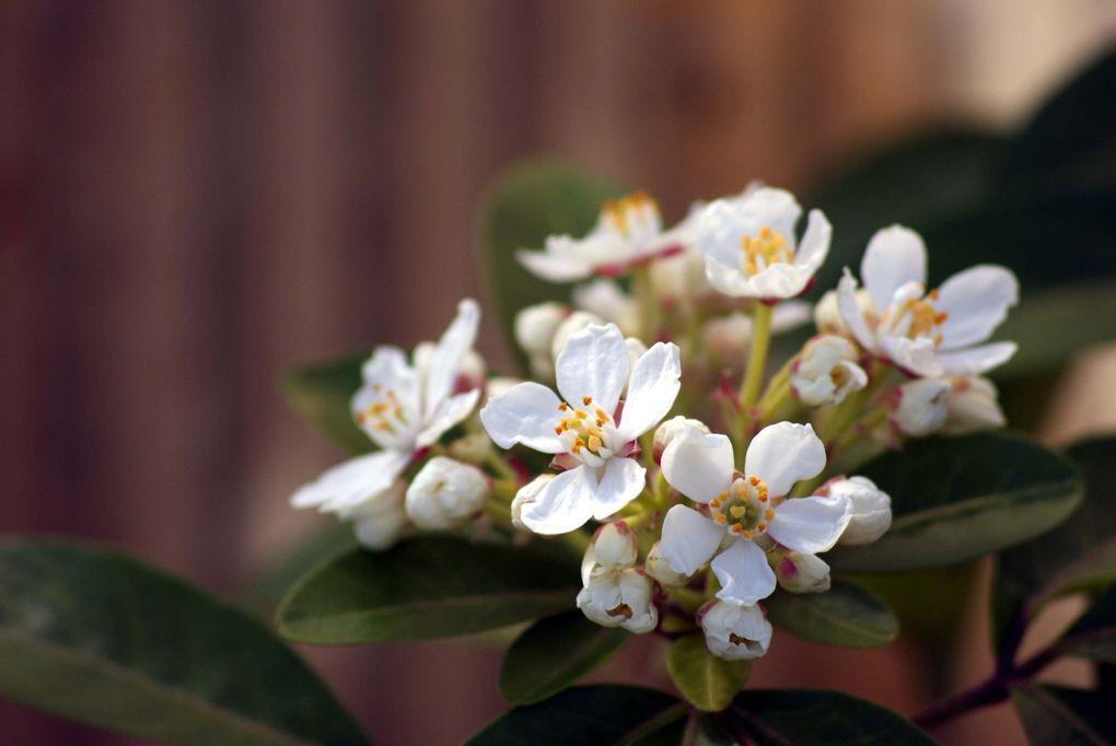 Fleurs de printemps de mon jardin ou des jardins de mes amies...