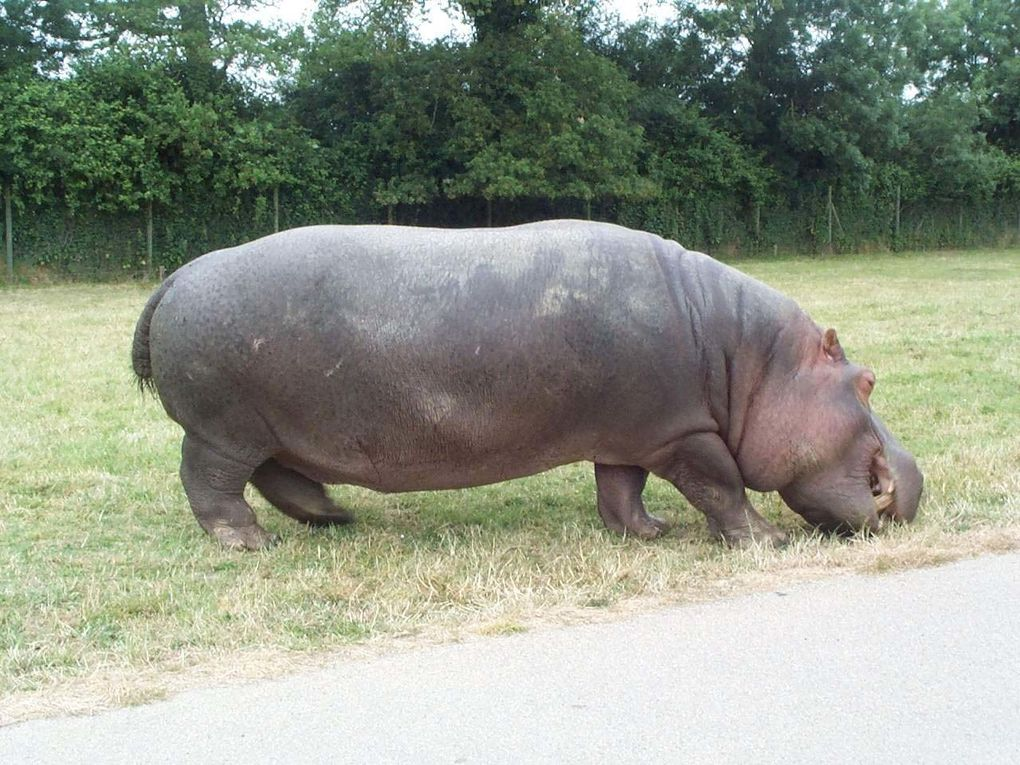 Photos d'hippopotames
